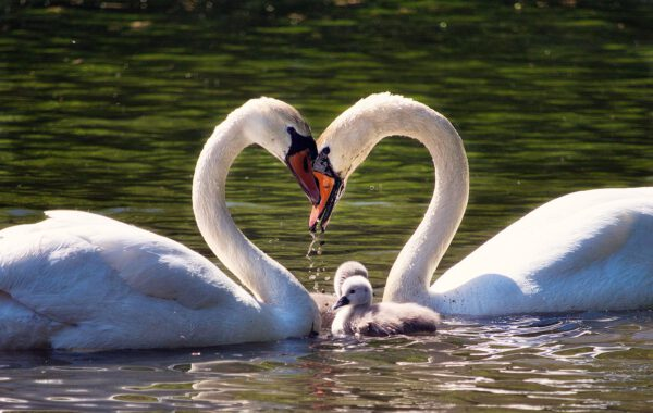 love, family, swan family-5192377.jpg